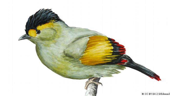 A painting of the little Liocichla bugunorum, with its black head, and yellow and black wings