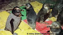 Südafrika Pinguin in Wollpullover