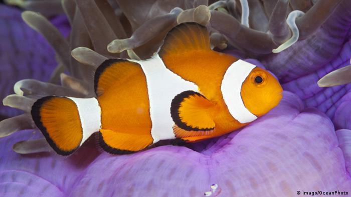 Clownfish and anemone (Picture: imago/OceanPhoto)