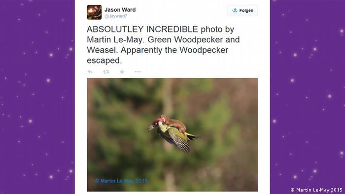 Twitter Screenshot Wiesel reitet Specht