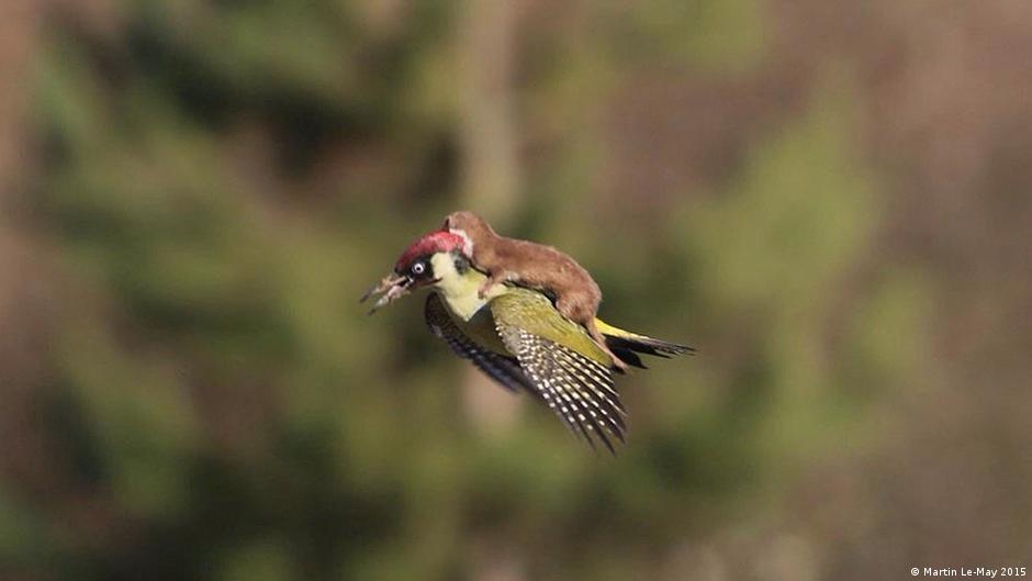 Amazing photo of weasel and woodpecker rocks Internet | DW | 04.03.2015