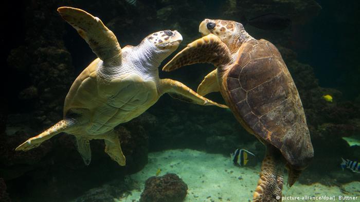 Two sea turtles interacting underwater