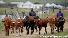 Südafrika Rinderherde Rinder