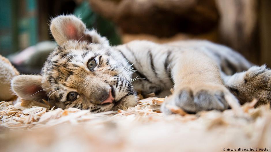 berlin tiger cub alisha finds new home in eberswalde news dw. Black Bedroom Furniture Sets. Home Design Ideas