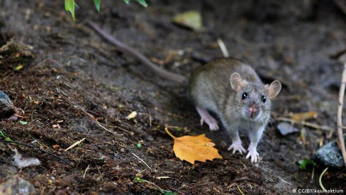 "Berlim testa ""armadilha inteligente"" contra ratos"
