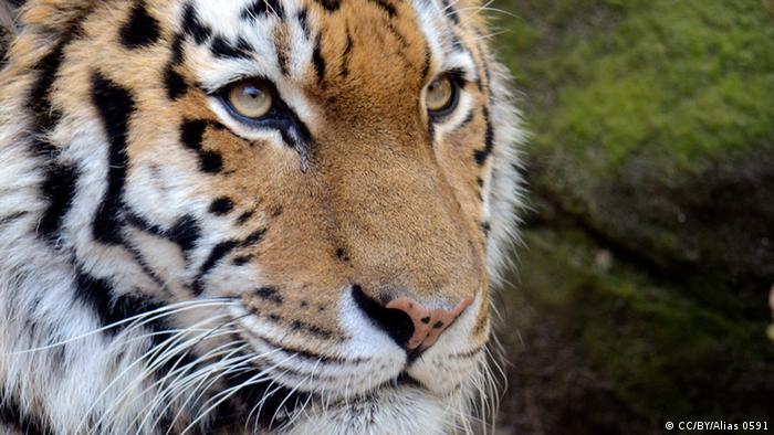 Bildergalerie Tierkreiszeichen Tiger