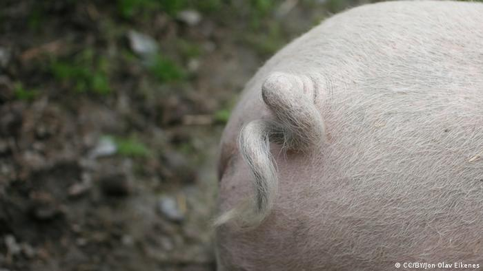 Photo: A pig's curly tail