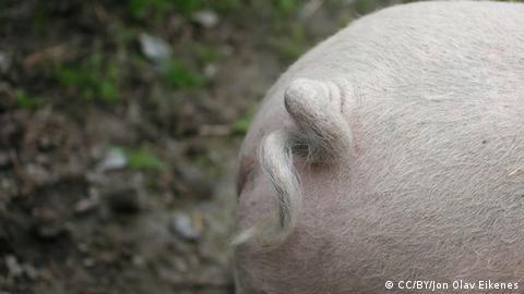 kuh und schwein legende
