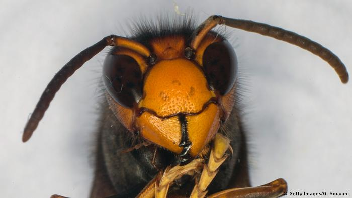 A wasp's face