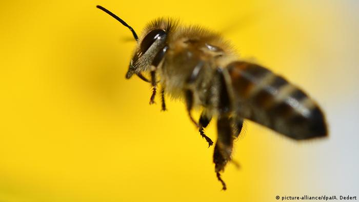 Bee in flight (Photo: Arne Dedert/dpa)