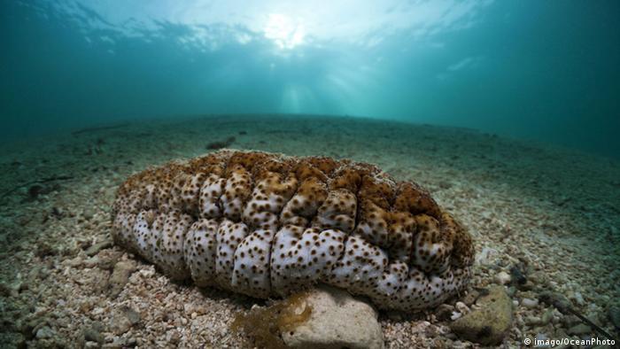 Foto: A sea cucumber under water