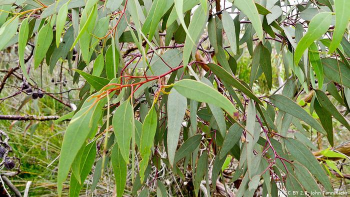 Australia: Leaves on a eucalyptus tree