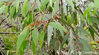 Photo: Branches and leaves of a eucalyptus tree (Photo: CC BY 2.0: John Tann/flickr)