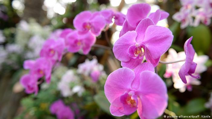 Rosa blühende Orchideen