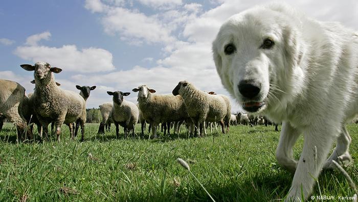 Dog peering into camera with sheep behind (Photo: NABU/K. Karkow)