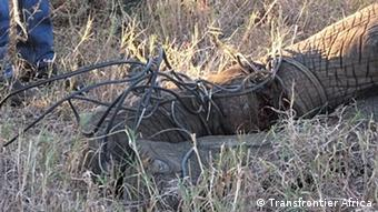 An elephant caught in a poacher's trap