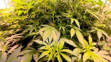 1.4.2015 DW Fit und Gesund Cannabis 3