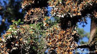Monarch butterflies (Photo Source: Katja Losch)