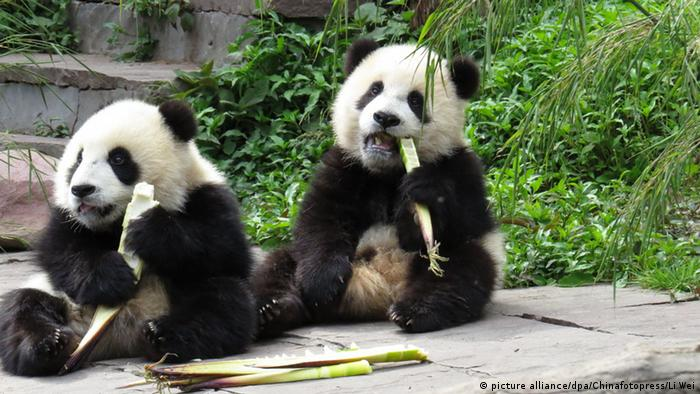 Panda bear cubs Photo: ChinaFotoPress/Li Wei/MAXPPP