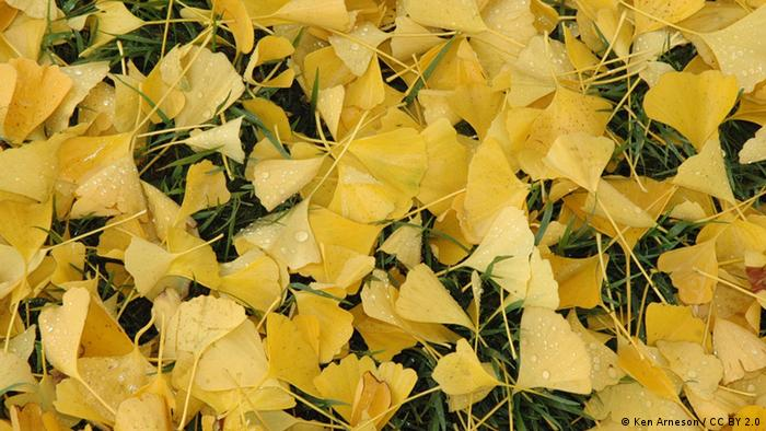 Photo: Gingko