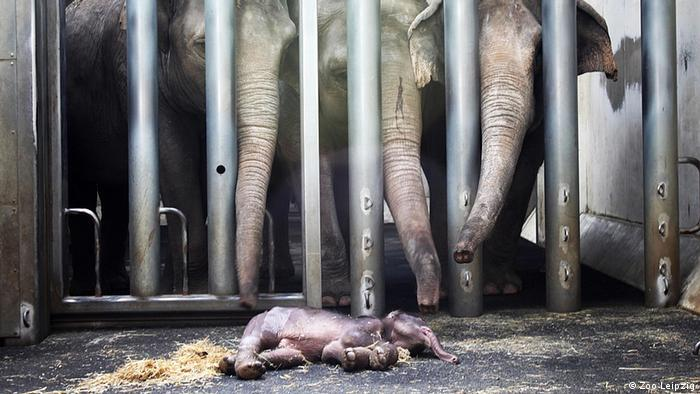 Herd members saying goodby to elephant calf at Leipzig Zoo
