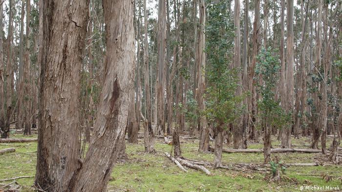 Eucalyptus trees growing on Easter Island (Photo: Michael Marek)