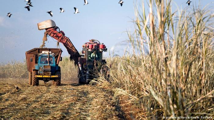 Colheita de cana de açúcar em Santa Bárbara do Oeste, SP