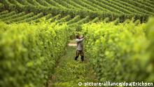 SPERRFRIST 24. MÄRZ 2015 UM 14.00 UHR - EIN BRUCH DES EMBARGOS KÖNNTE DIE BERICHTERSTATTUNG ÜBER STUDIEN EMPFINDLICH EINSCHRÄNKEN - ARCHIV - Ein Arbeiter schneidet am 26.08.2013 in einem Weinberg bei Johannisberg (Hessen) die Reben der Sorte Riesling. Ob ein Weinstock gut wächst, hängt nicht nur von der Pflege ab, sondern auch von Bakterien im Boden. Foto: Fredrik von Erichsen/dpa (zu dpa Gewimmel im Boden: Weinreben werden von lokalen Bakterien besiedelt vom 24.03.2015) +++(c) dpa - Bildfunk+++