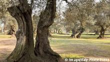 Italien Befallene Olivenbäume