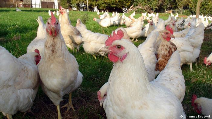 Hens at Bauernhof Gut Kappeln (Photo: Johannes Rodewyk)