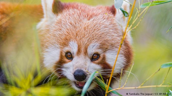 Red Panda among the leaves