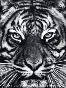 Robert Longo's Tiger, charcoal on paper, Copyright: picture-alliance/Christie's Images/Ho