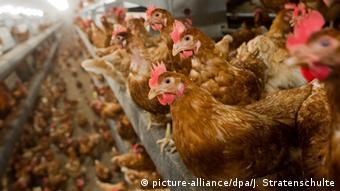 Σύμφωνα με τις μέχρι τώρα ενδείξεις η κατανάλωση κοτόπουλων που έχουν έρθει σε επαφή με φιπρονίλη δεν έχει επιπτώσεις στην ανθρώπινη υγεία