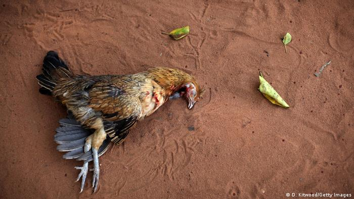 A chicken is sacrificed during a Voodoo ceremony on January 7, 2012 in Ouidah, Benin