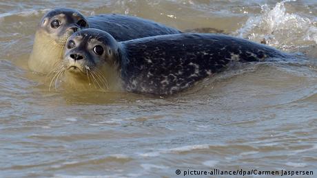Auswilderung von Seehunden