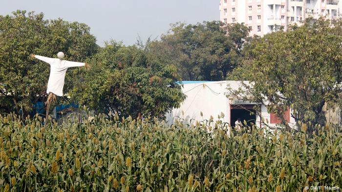 A maize field with a scarecrow next to a apartment block on the outskirts of Pune
