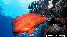 ARCHIV - Ein Juwelen-Zackenbarsch schwimmt an einem Korallenriff der Great Barrier Reefs vor der Küste Australiens (undatiertes Handout). Ein internationales Forscherteam hat herausgefunden, dass es einen Zusammenhang zwischen der Bevölkerungsdichte und der Anzahl der Fische in Korallenriffs gibt. Je mehr Menschen in der Nähe eines Riffs leben, desto weniger Fische tummeln sich dort. Foto: Great Barrier Reef Marine Park Authority (zu dpa vom 05.04.2011) +++(c) dpa - Bildfunk+++