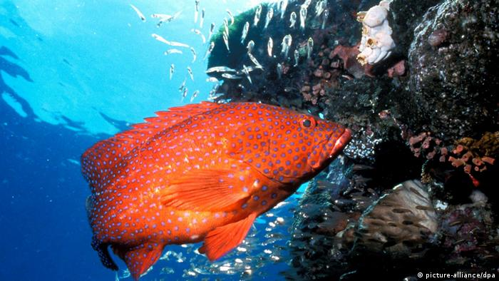 A bright orange fish on a reef