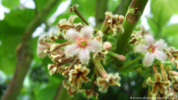 Gelber Chinarindenbaum (picture alliance/blickwinkel/A. Jagel)