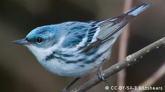 Photo: Cerulean Warbler (Source: CC-BY-SA-3.0/Mdf)