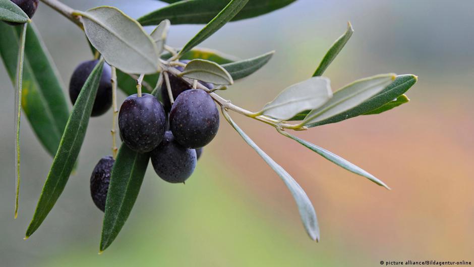 فوائد علاجية مذهلة لأوراق شجرة الزيتون | DW | 02.05.2015