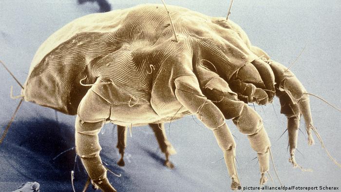 Die Hausstaubmilbe - ein aggressiver Allergieauslöser
