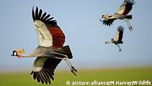 KEN, 2004: Kronenkranich, Grauhals-Kronenkranich (Balearica regulorum), drei Tiere im Flug. [en] Grey Crowned Crane (Balearica regulorum), three in flight.   KEN, 2004: Grey Crowned Crane (Balearica regulorum), three in flight. 95120; Africa; Afrika; Aves; DVD 88; Fliegen; Flug; Grauhals-Kronenkraniche; Grauhalskronenkraniche; Grue royale; Gruidae; Gruiformes; Kraniche; Kranichvoegel; Kronenkraniche; Natur; Tiere; Vertebrata; Voegel; Vogel; Wirbeltiere; animals; birds; cranes; flight; flying; nature; shop_wildlife; vertebrates; 2511140000; animal; bird