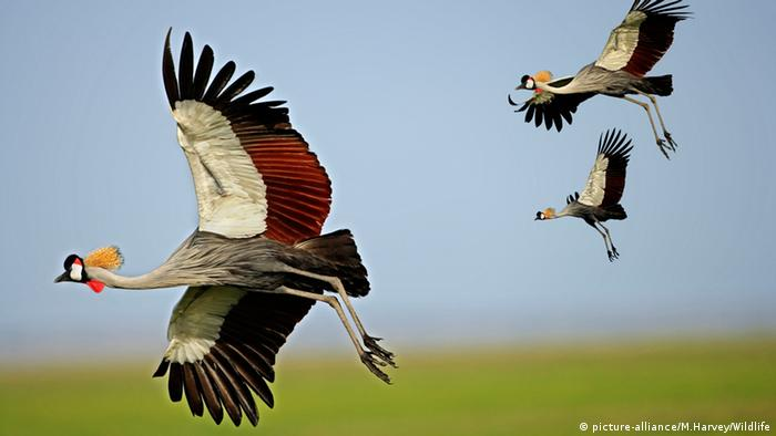 Three grey-crowned cranes in flight