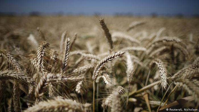 A wheat field in California (Photo: REUTERS/Lucy Nicholson)