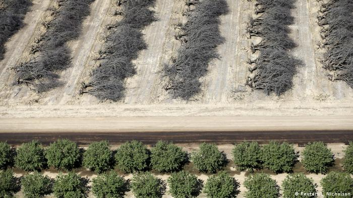 Almond trees being unrooted in California's Central Valley (Photo: Reuters)