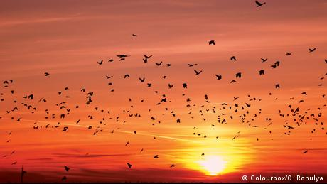 silhouettes of flying migratory birds during sunset