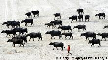 Indien Allahabad Büffel Herde