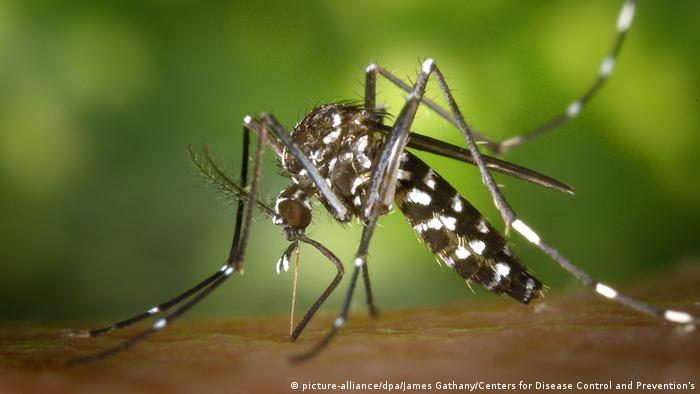 Asiatische Tigermücke (picture-alliance/dpa/James Gathany/Centers for Disease Control and Prevention's)