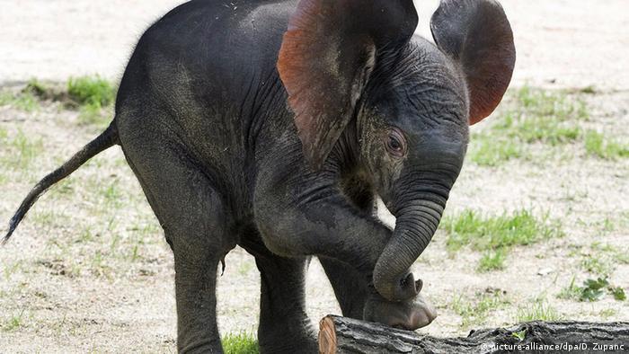 Слоненок в зоопарке Шёнбрунн